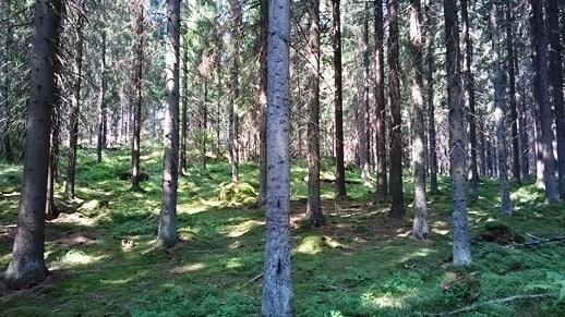 HuLi Finaali ja eGames 2014. Kilpailumaaston sammalmattoista kuusikkoa.